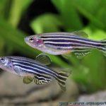 Рыбки полосатики Данио (Danio Rerio / Brachydanio Rerio)