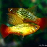 Рыбка Высокоплавничная Пецилия