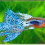 Рыбка Гуппи изумрудная