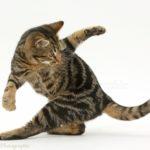 Кошка охотится за хвостом