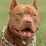 Собака опасной породы без намордника